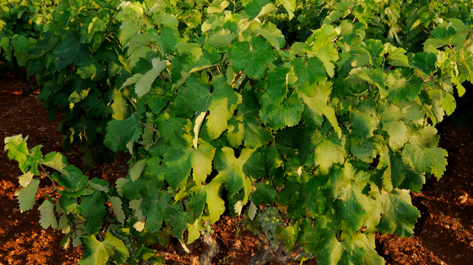 grapevine with green leaves and red land in Puglia, Italy